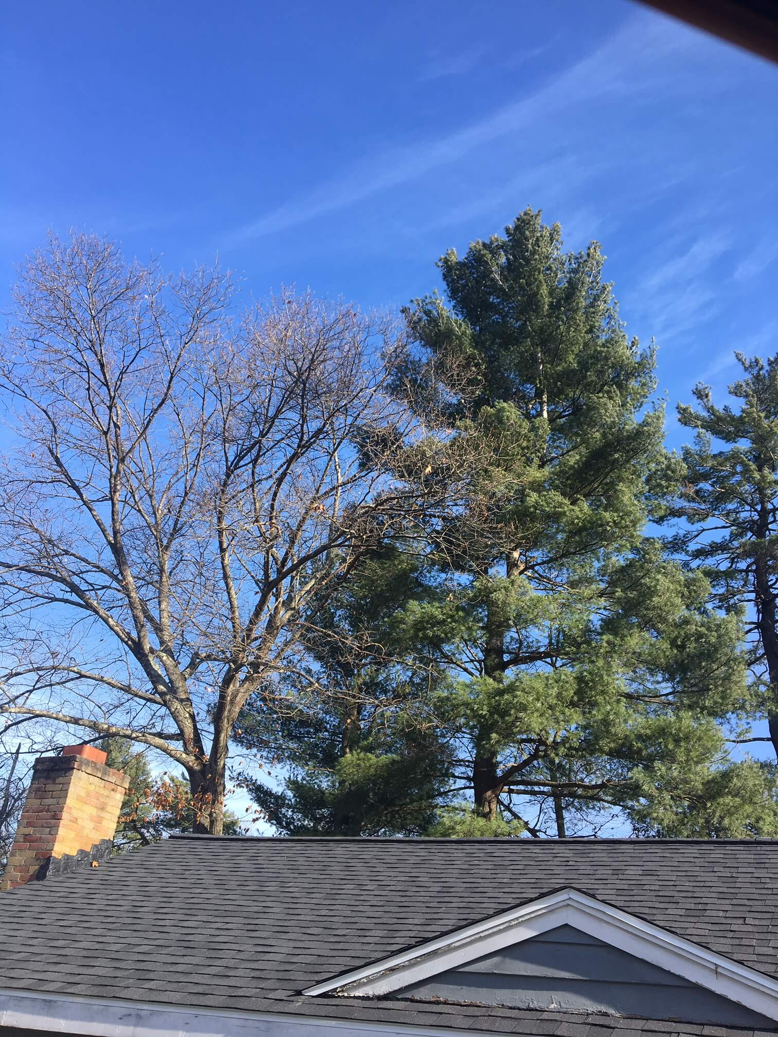 Residential pine tree removal in Wilmington, MA